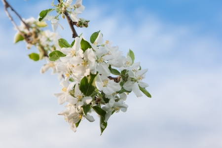 A blooming branch of apple tree in spring photo