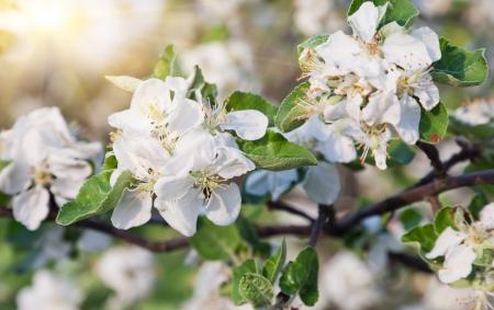 Una rama en flor de manzano en primavera photo