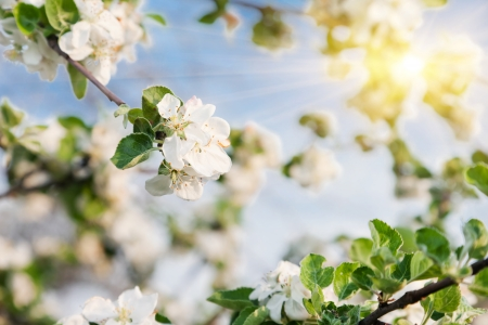apple blossom: A blooming branch of apple tree in spring