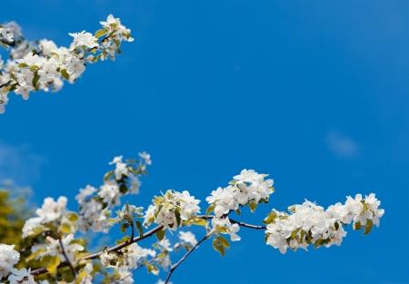 春のリンゴの木の花をつけた枝 写真素材