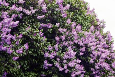 Close-up beautiful lilac flowers with the leaves Zdjęcie Seryjne