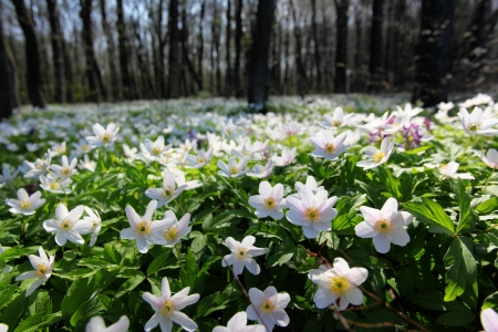 snowdrop: Springtime is the moment for this beautiful flower. Snowdrop anemone