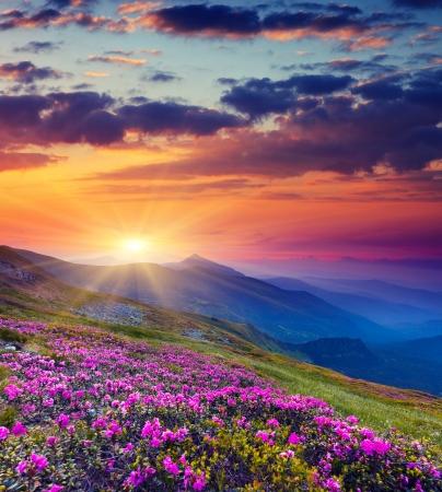 Magie des fleurs de rhododendron rose sur la montagne l'?t?