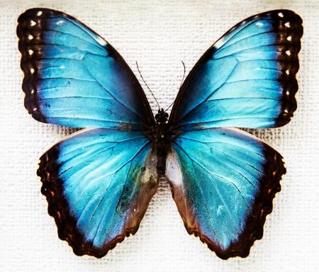 mariposa azul: Mariposa ex?tica aislada en el fondo blanco Foto de archivo