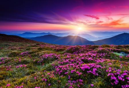 夏の山で魔法のピンクのシャクナゲの花。カルパチア、ウクライナ。