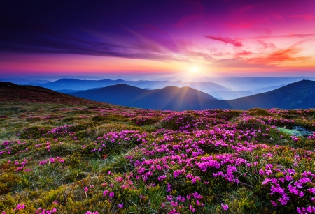 sunset sunrise: Magic pink rhododendron flowers on summer mountain.Carpathian, Ukraine.