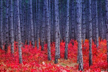 Fantastic forest with Cotinus coggygria. Autumn leaves. Crimea, Ukraine, Europe. Beauty world. 版權商用圖片