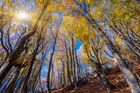 beech wood: Majestic morning colorful forest. Autumn leaves. Crimea, Ukraine, Europe. Beauty world.