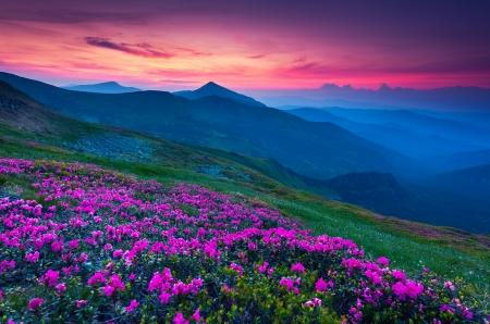 Magic pink rhododendron flowers on summer mountain. Carpathian, Ukraine, Europe. Beauty world.