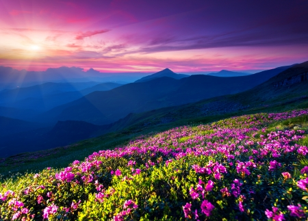 Magic pink rhododendron flowers on summer mountain. Dramatic overcast sky. Carpathian, Ukraine, Europe. Beauty world. photo