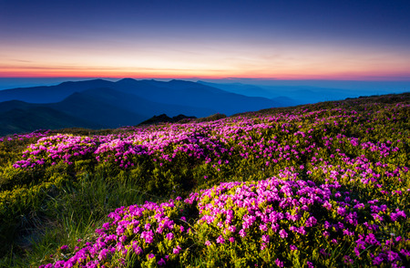 Magic pink rhododendron flowers under the dark blue sky. Majestic Carpathian, Ukraine, Europe. Beauty world. photo