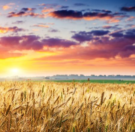 Campo de trigo fantástica en la puesta de sol. Cielo cubierto de colores. Ucrania, Europa. Mundo de la belleza. Foto de archivo - 26512856