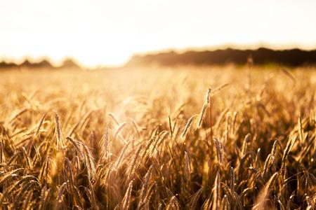 cornfield: Fantastic wheat field at the sunset. Ukraine, Europe. Beauty world. Stock Photo