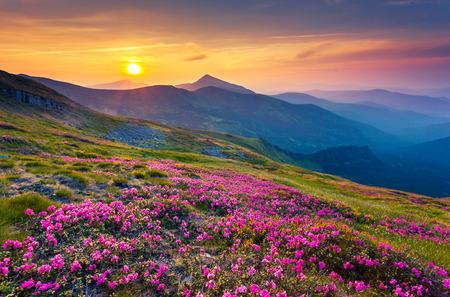 Magic pink rhododendron flowers on summer mountain. Carpathian, Ukraine, Europe. Beauty world. photo