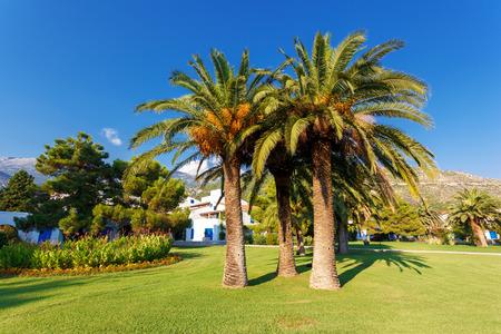 View of tropical coconut palms. Budva, Montenegro, Balkans, Europe. Beauty world. photo