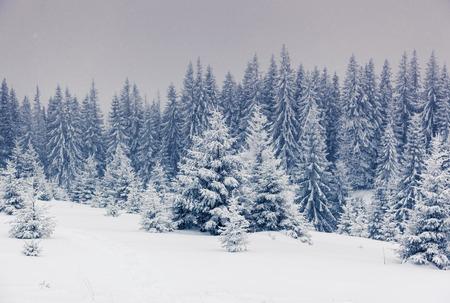 winter wonderland: Fantastic winter landscape. National Park. Carpathian, Ukraine, Europe. Beauty world.