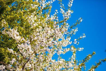 Bunches of white cherry blossom. Ukraine, Europe. Beauty world.
