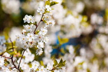 Bunches of white cherry blossom. Ukraine, Europe. Beauty world. photo