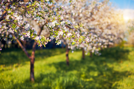 Blossoming apple orchard in spring. Ukraine, Europe. Beauty world.
