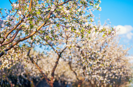 Blossoming apple orchard in spring. Ukraine, Europe. Beauty world. photo
