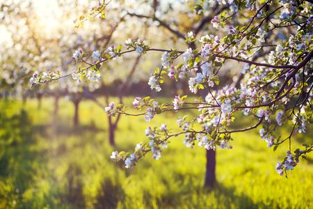 Huerta floreciente del manzano en resorte. Ucrania, Europa. Mundo de la belleza.