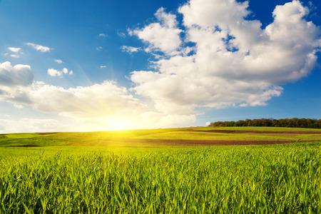 cornfield: Beautiful sunny day in the field with blue sky. Overcast sky. Ukraine, Europe. Beauty world.