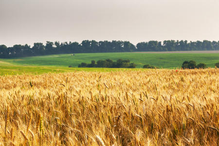 Gold wheat field and blue sky. Ukraine, Europe. Beauty world. Stock Photo