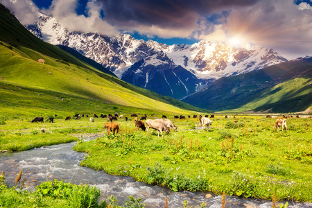 shkhara: Cows grazing on a alpine meadow at the foot of  Mt. Shkhara. Upper Svaneti, Georgia, Europe. Caucasus mountains. Beauty world.