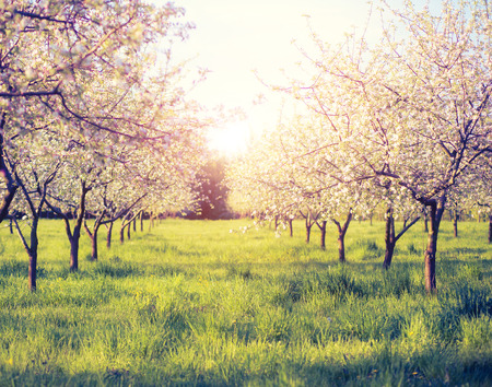 apple orchard: Blossoming apple orchard in spring.  Stock Photo