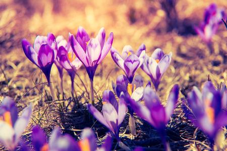 Lila Krokusse blühen auf der Frühlingswiese. Karpaten, Ukraine, Europa.