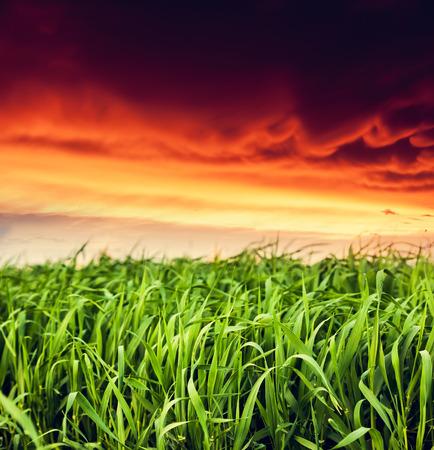 cornfield: Fantastic field at the sunset. Colorful overcast sky. Ukraine, Europe. Beauty world. Stock Photo
