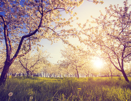 Blossoming apple orchard in spring.  photo