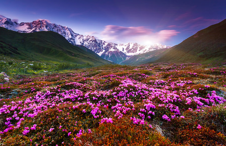 spring season: Fantastic colorful sunset and bloom rhododendron at the foot of Mt. Shkhara. Dramatic overcast sky. Upper Svaneti, Georgia, Europe. Caucasus mountains. Beauty world.