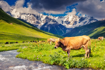 caucasus: Cows grazing on a alpine meadow at the foot of  Mt. Shkhara. Upper Svaneti, Georgia, Europe. Caucasus mountains. Beauty world.