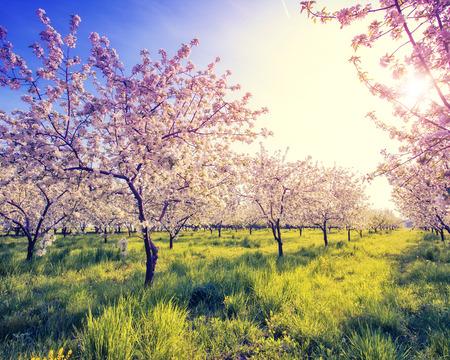Bloeiende appelboomgaard in de lente en de blauwe hemel. Retro gefiltreerd. Stockfoto