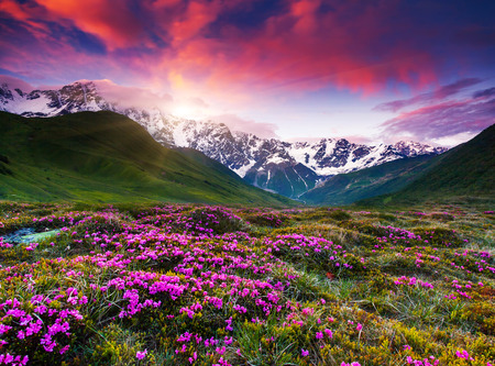 shkhara: Fantastic colorful sunset and bloom rhododendron at the foot of Mt. Shkhara. Dramatic overcast sky. Upper Svaneti, Georgia, Europe. Caucasus mountains. Beauty world.