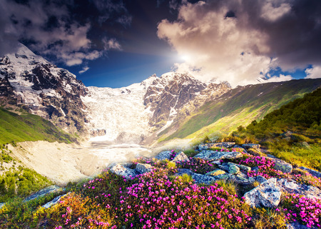 svaneti: Fantastic colorful sunset and bloom rhododendron at the foot of Tetnuldi glacier. Dramatic overcast sky. Upper Svaneti, Georgia, Europe. Caucasus mountains. Beauty world.