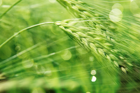 close in: Close up of fresh morning green wheat in spring