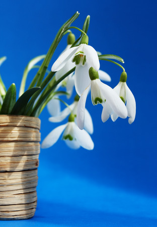 Beautiful bouquet snowdrops in a vase photo