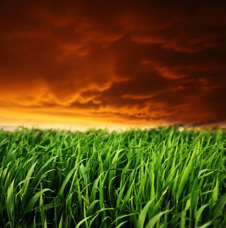 cornfield: A beautiful field of green grass. Dark ominous clouds.