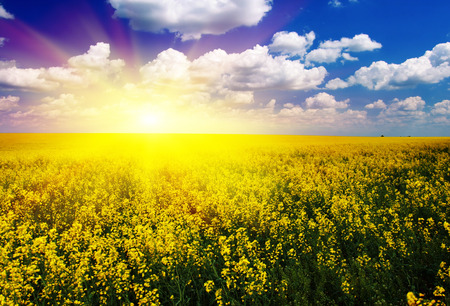rape: Majestic sunset in the yellow field rapeseed Stock Photo