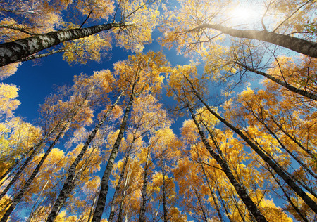 birch tree: Colorful autumn leaves on a trees in forest