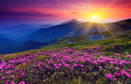 serene landscape: Magic pink rhododendron flowers on summer mountain