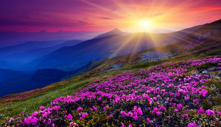 clouds: garden: Magic pink rhododendron flowers on summer mountain. Carpathian, Ukraine. Stock Photo