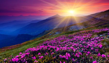 on the mountain: Magic pink rhododendron flowers on summer mountain. Carpathian, Ukraine. Stock Photo
