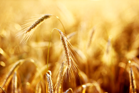 corn fields: Close up of ripe wheat ears. Ukraine, Europe. Beauty world. Stock Photo