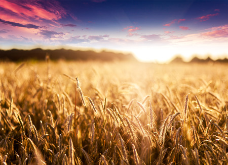 Fantastische Weizenfeld bei Sonnenuntergang. Bunte Himmel bedeckt. Ukraine, Europa. Beauty-Welt. Standard-Bild - 31784000