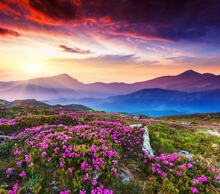 Magic pink rhododendron flowers on summer mountain. Dramatic overcast sky. Carpathian, Ukraine, Europe. Beauty world. photo