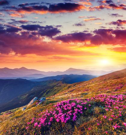 fairytale background: Magic pink rhododendron flowers on summer mountain. Dramatic overcast sky. Carpathian, Ukraine, Europe. Beauty world.