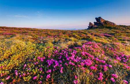Magie Rosa Rhododendron Blumen auf Sommer mountain.Carpathian, Ukraine. Europa
